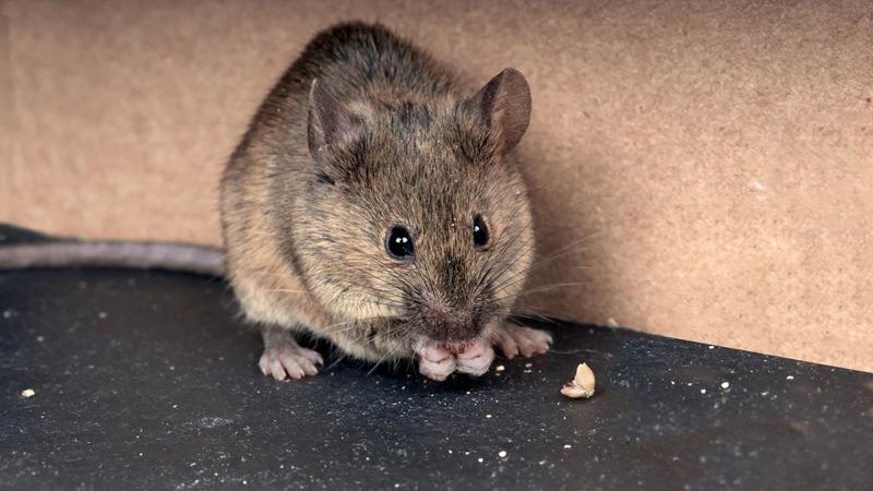 Bestrijding muizen en ratten
